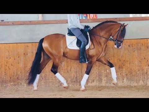 Beauty Horse PRE For Sale - Near Buckskin Color - Piro Free