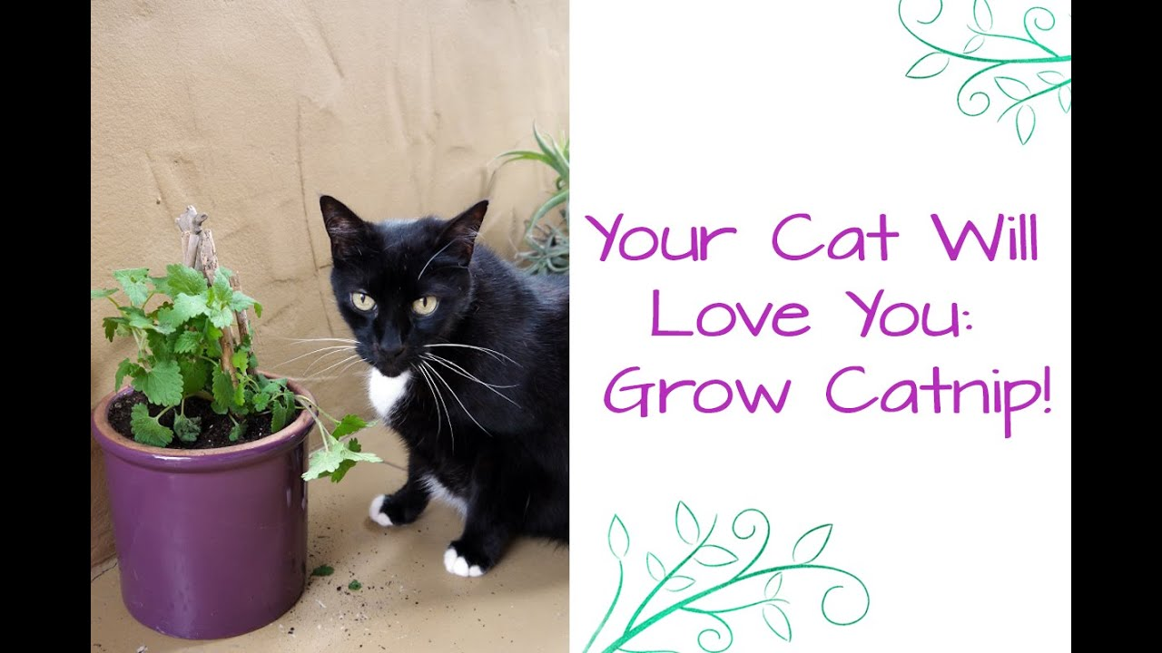 How To Grow Catnip Your Cat Will Love You YouTube - 32 adorable photos cats growing