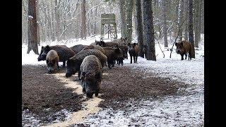 Уроки охоты на кабана зимой с вышки 2017