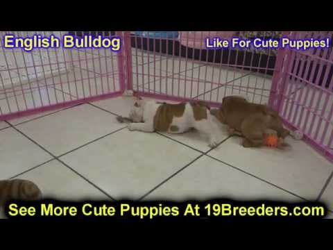 English Bulldog, Puppies, Dogs, For Sale, In Louisville, Kentucky, KY, 19Breeders, Bowling Green