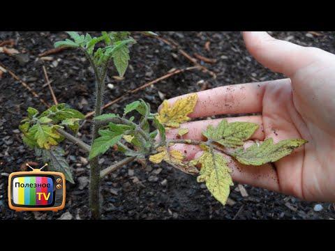 Вопрос: Как спасти урожай что делать, если сохнут листья томатов?