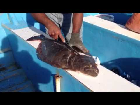 San Felipe Sport Fishing Halibut