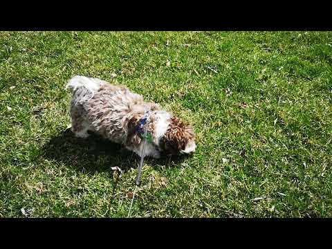 Coco 1 year old havanese dog rolling on an early spring grass