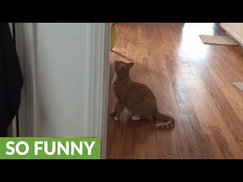 Playful blind cat runs right into doorway