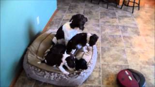 Mighty x Rumble Fall 2014 Puppies; Video 16, Puppies and Zippy