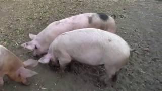 Стоит ли выращивать свиней и можно ли заработать на этом .