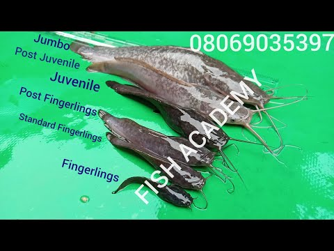 SIZES OF FISH TO STOCK TO AVOID CANNIBALISM, MORTALITY AND PREDATORS