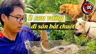 Hai con chó vàng đi săn bắt chuột / @Zoom TV - Hành Trình Vạn Dặm / Two golden dogs hunt for rats.
