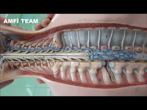 Medulla Spinalis Anatomisi - Amfi Team Official