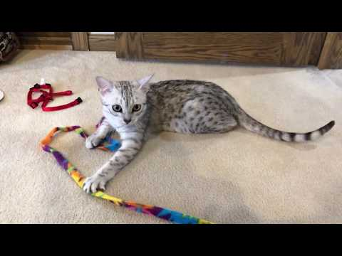 8 Month Old Egyptian Mau Kitten Playing in his New Home