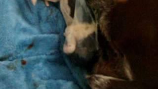 Newborn German Shorthair Puppy