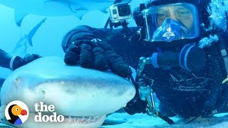 Diver Has Been Friends With Tiger Shark For 20 Years! | The Dodo