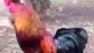 Ayam nyanyi lagu ( juragan empang)