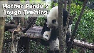 Mother Panda's Training On Baby Get Just Tougher! | iPanda