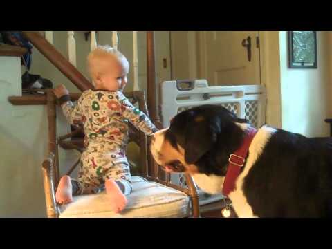 Greater Swiss Mountain Dog (Charlie) - Teased by child