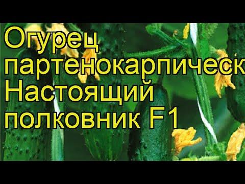Огурец партенокарпический Настоящий полковник. Краткий обзор, описание характеристик cucumis sativus