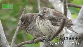 ダーウィンフィンチ 鳥ポックス症② :aviianpox disease