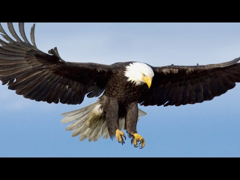 Bald Eagle: Largest Birds of Prey found in North America