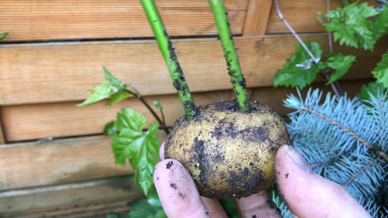 Propagation of roses cuttings in potatoes 45