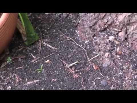 how to kill australian black ants