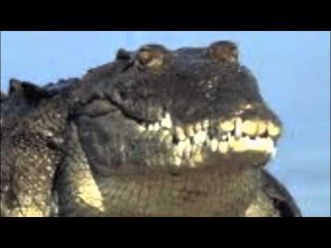 INTERIOR CROCODILE ALLIGATOR ACTUAL SONG REMIX