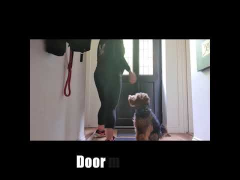 Year Old Welsh Terrier | Ted | Dog Training in London, UK