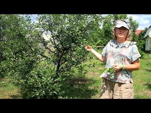 Вопрос: Как ухаживать за вишней, чтобы ягоды были крупные и сочные?