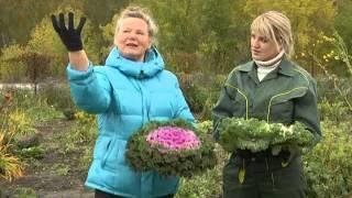 видео Капуста декоративная - выращивание из семян, посадка и уход