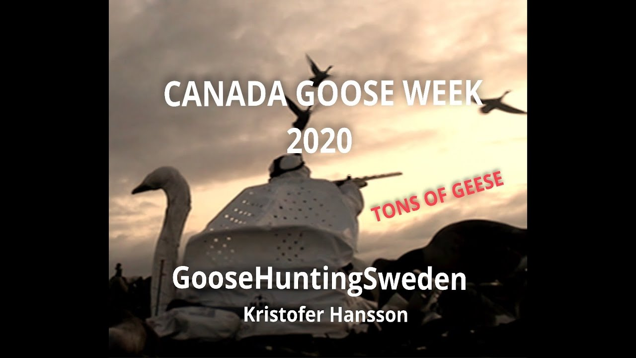 """Canada Goose Week"" in Sweden, by Goose Hunting Sweden"