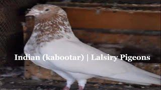 Indian Pigeons (kabootar) | Lalsiry Pigeons ka- Chic- best high flying pigeons