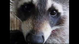 caged raccoon will bring you to tears
