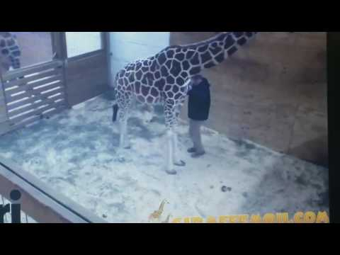 Thumbnail: April the hormonal giraffe kicks the vet