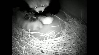 Two Red Panda Cubs Born at Lincoln Park Zoo