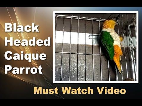 Black Headed Caique Parrot Price in Dehradun India   Black-Capped Parrot or  Pallid Parrot