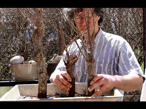 American Elm Bonsai, April 2015
