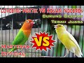 Masteran Lovebird Ngetik Vs Kenari Ngebren Untuk Burung Ocehan Terah Juara Gantangan(.mp3 .mp4) Mp3 - Mp4 Download