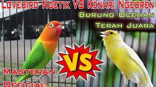 Download Mp3 Masteran Lovebird Ngetik Vs Kenari Ngebren Untuk Burung Ocehan Terah Juara
