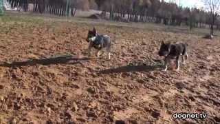 Дрессировка 4-х щенков ВЕО в группе