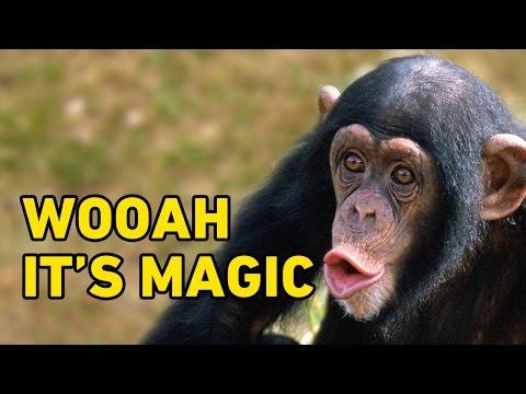 Chimp's Mind is Blown from Magic Tricks