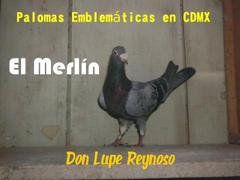 Lupe Reynoso Palomas Emblemáticas El Merlín y El Record