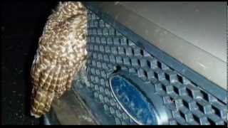 WCAX Owl Survives Truck Hit PKG 12/19/12
