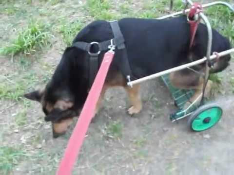arnes perro invalido