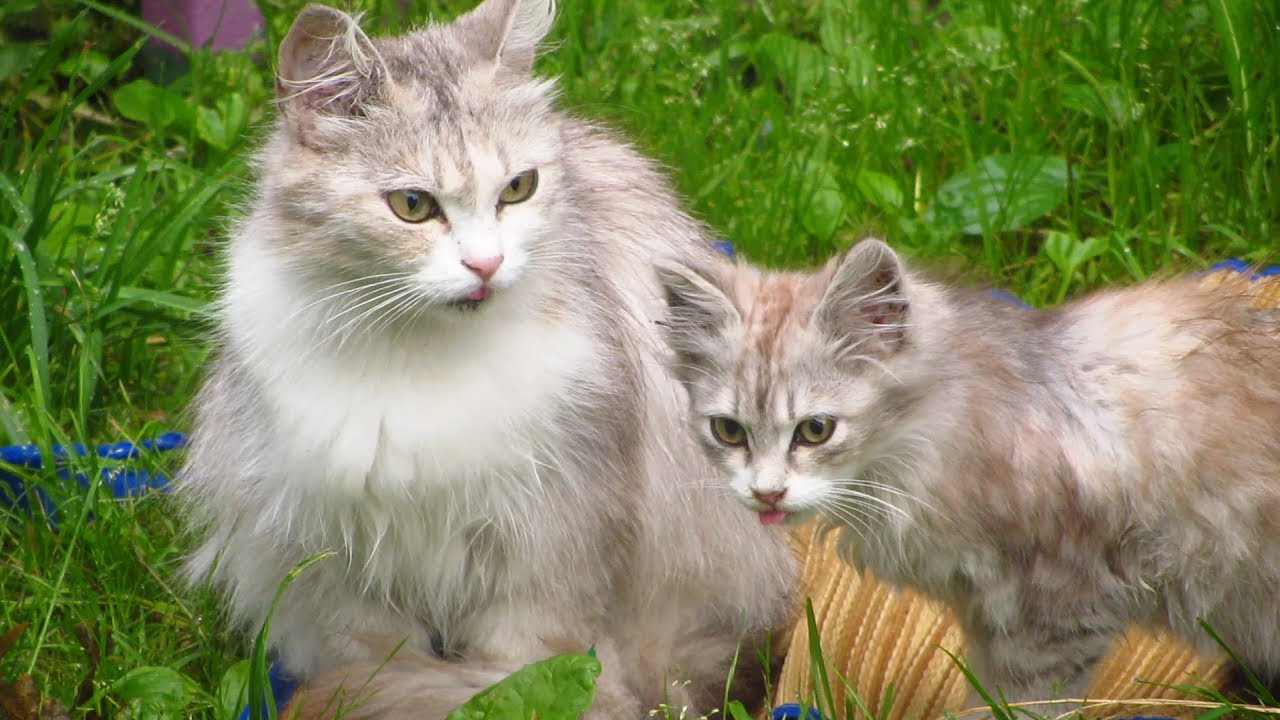 designer cat breeds