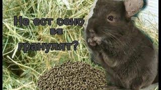 Шиншилла не ест гранулят и сено. Что делать?