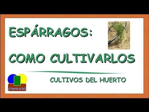 como cultivar esparragos - youtube