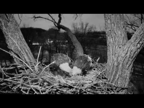 Decorah Eagles Cute Evening Moments While Nestorating 1/22/18
