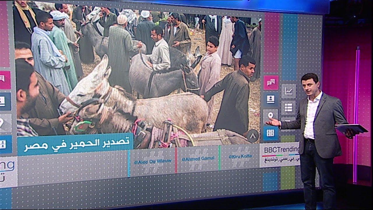 أعداد  الحمير تتناقص  في #مصر بسبب التصدير  إلى #الصين   #بي_بي_سي_ترندينغ