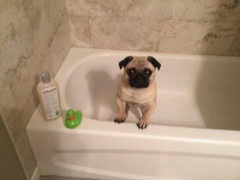 Cute Pet Pug has a Bath!