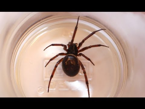 False widow spiders: what you need to know