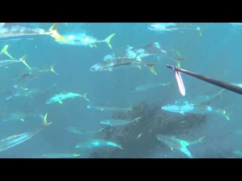 Yellowtail Action South Africa